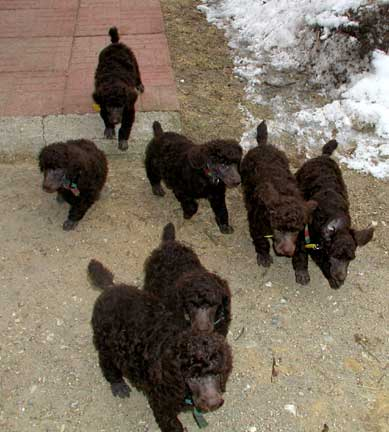 Standard Poodle Pricing