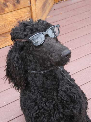 Royal Standard Poodles Black Brody