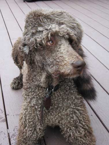 Royal Standard Poodles Black Brody