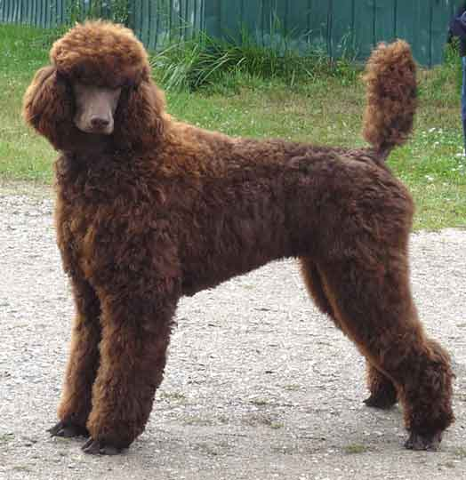 Large Standard Poodles, Royal, puppies for sale