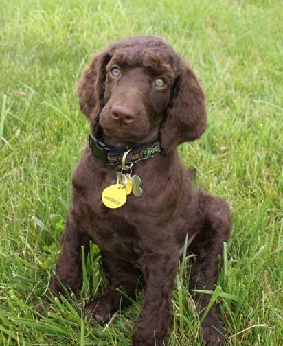 Royal Standard Poodles-Brown Kodi Bear