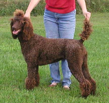 Standard Poodle Coat