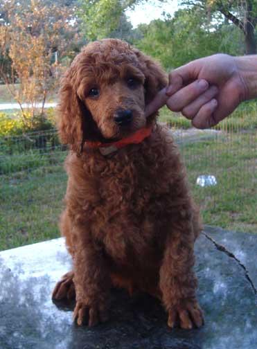 Royal Red Standard Poodles - Daniel * Skye will be my mate :-)