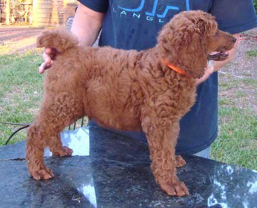 Royal Red Standard Poodles - Daniel