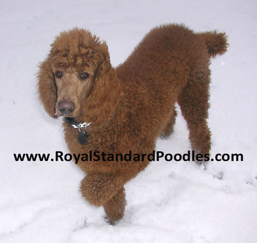 Our Large Standard Poodles - Royal