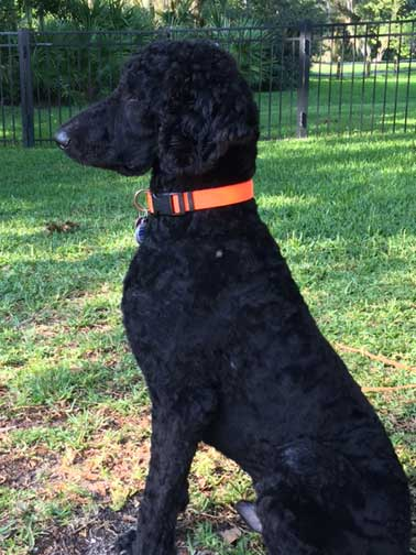 Cavapoos further Standard Poodle Growth And Weight Chart further Bassetoodle furthermore The Differences Between Dog Hair And Dog Fur further Black Standard Poodle Images. on standard poodle puppies for adoption
