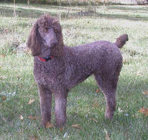 royal standard poodle