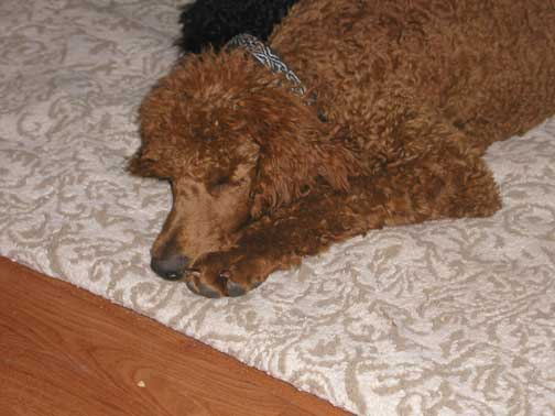 Red Standard Poodle Fire