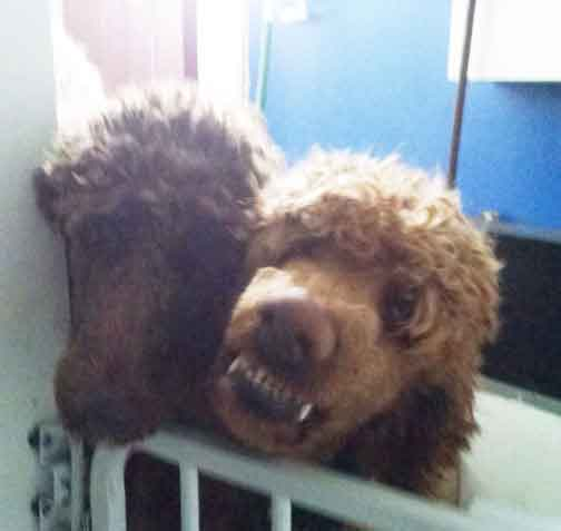 How much is a standard poodle puppy
