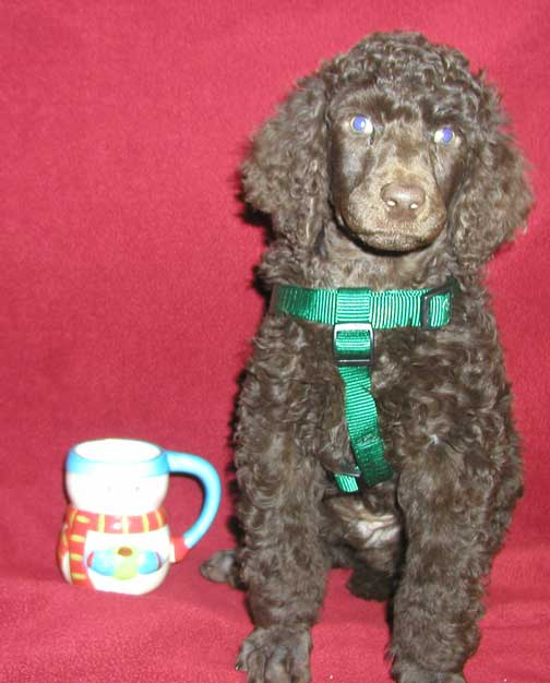 Jxb Royal Standard Poodles Fall Litter 2016