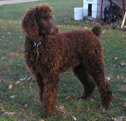 Our Large Standard Poodles