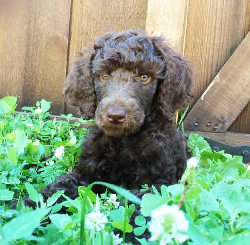a picture of a poodle