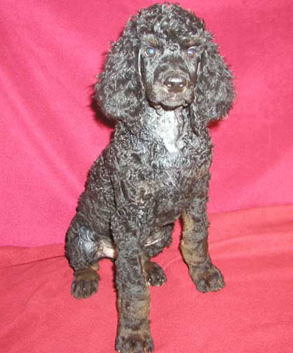 Giant Standard Poodle Puppies For Sale