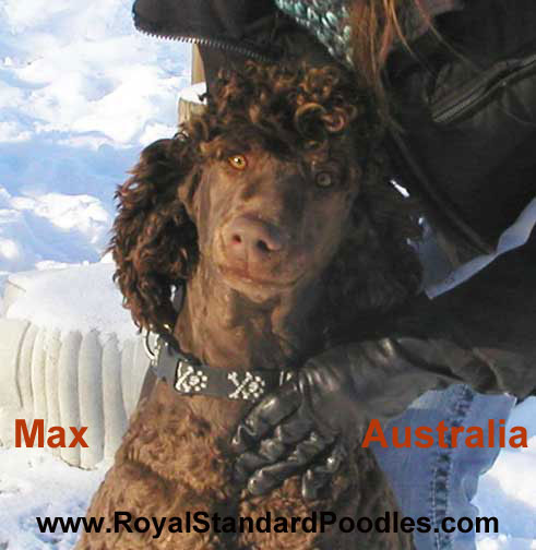 Royal standard poodle texas