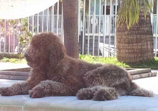 Standard Poodles Large Brown Mookie