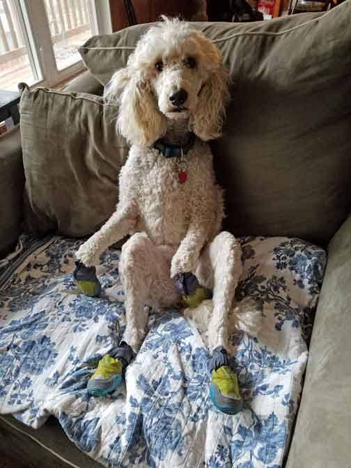Mooloo Cream Standard Poodle