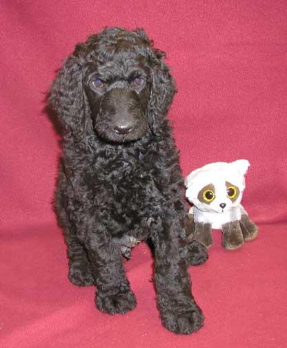 Royal Standard Poodles Mv