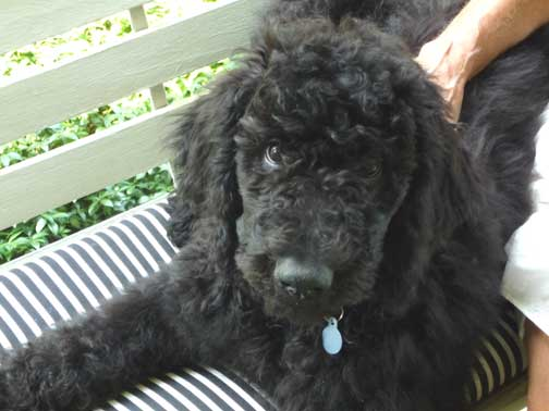 black standard poodle puppy - photo #48