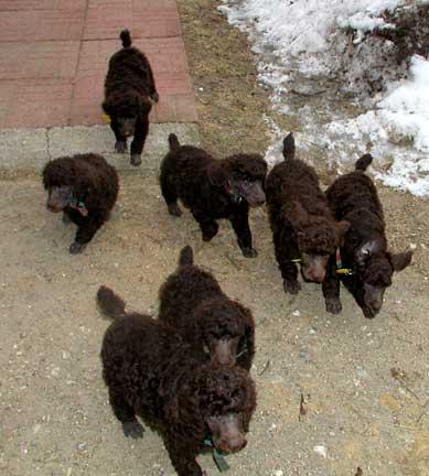 Royal Standard Poodle Customer Pictures