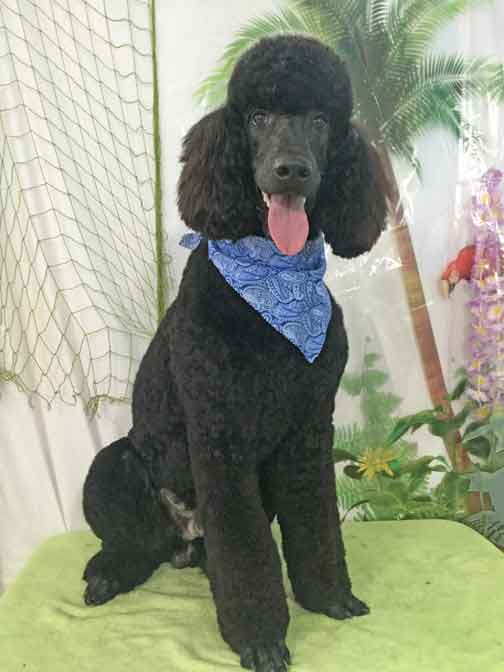 Royal Standard Poodle Black Racken