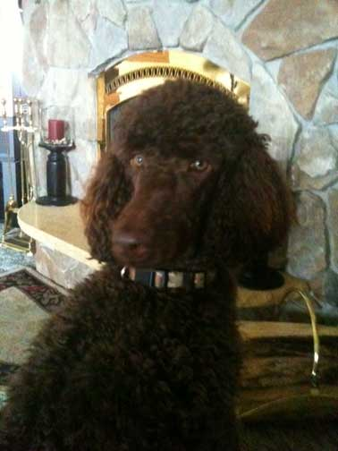 Large Brown Standard Poodle Reggie