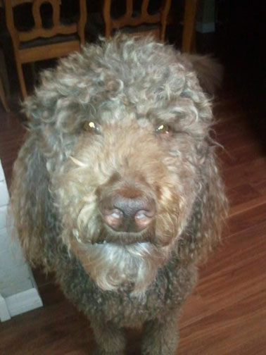 Royal Standard Poodle Giant Rufus