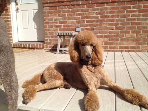 Royal Standard Poodle Customer Pictures