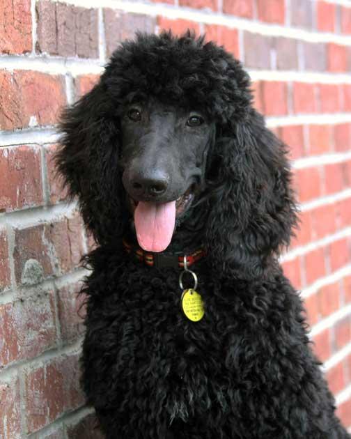 royal standard poodle black suds