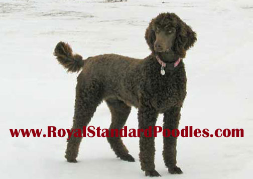Royal Standard Poodles