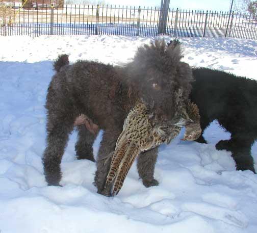 Royal Standard Poodle Hunting Dogs